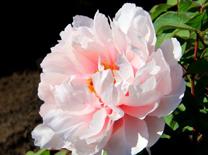 大田观赏 矮化盆栽 菏泽牡丹多元化之花初绽